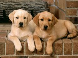 Double-Trouble-Labrador